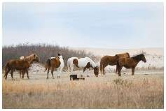 Assateague National Seashore Travel Photography wild ponies on the beach